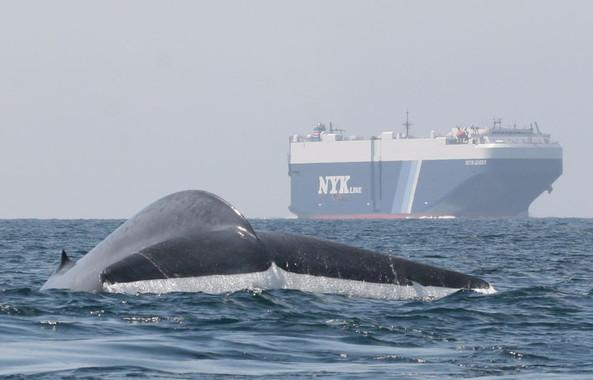 Un rastreador de ballenas azules evita que choquen contra los buques
