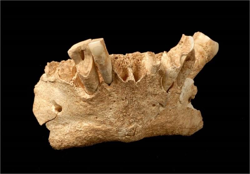 La mandíbula del hominino más antiguo de Europa, descubierta en 2007 en la Sima de Elefante del yacimiento de Atapuerca. / CENIEH