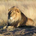 La caza del león para trofeos pone en jaque a la especie