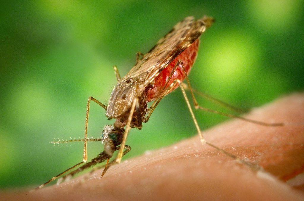 El mosquito Anopheles albimanus es un vector de la malaria humana. Imagen: Pennstatelive.