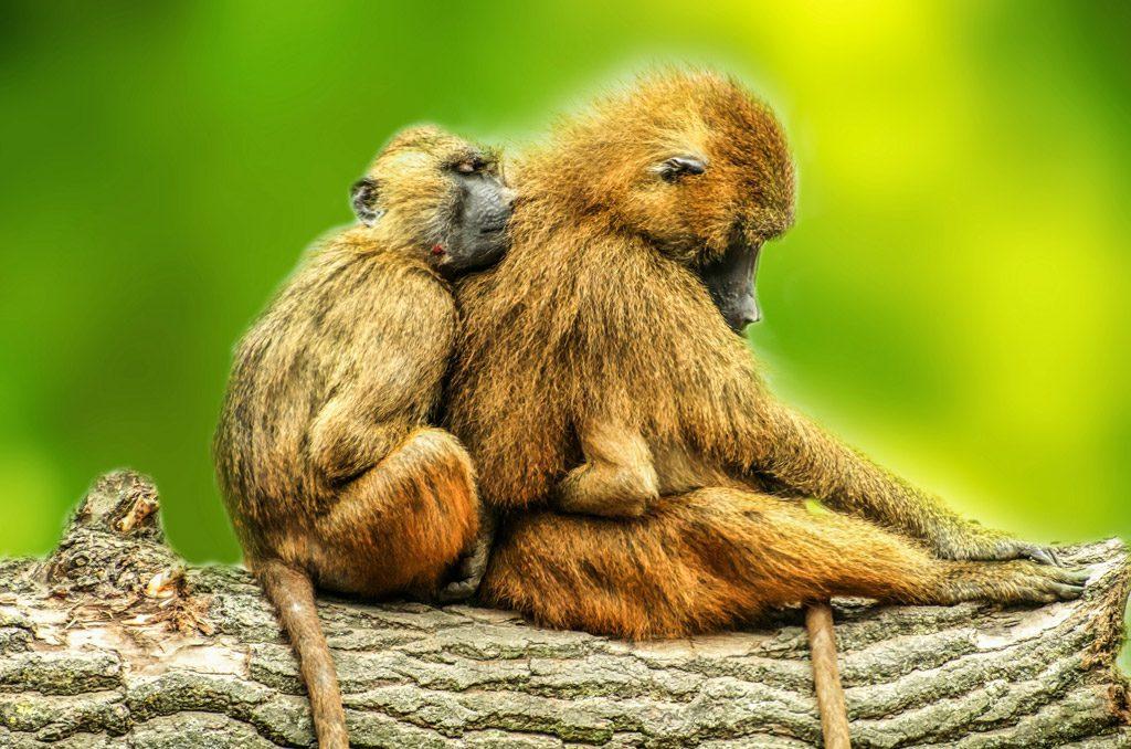 Las lenguas de los babuinos tienen los mismos músculos que las humanas, según reveló el análisis anatómico. / Pixabay