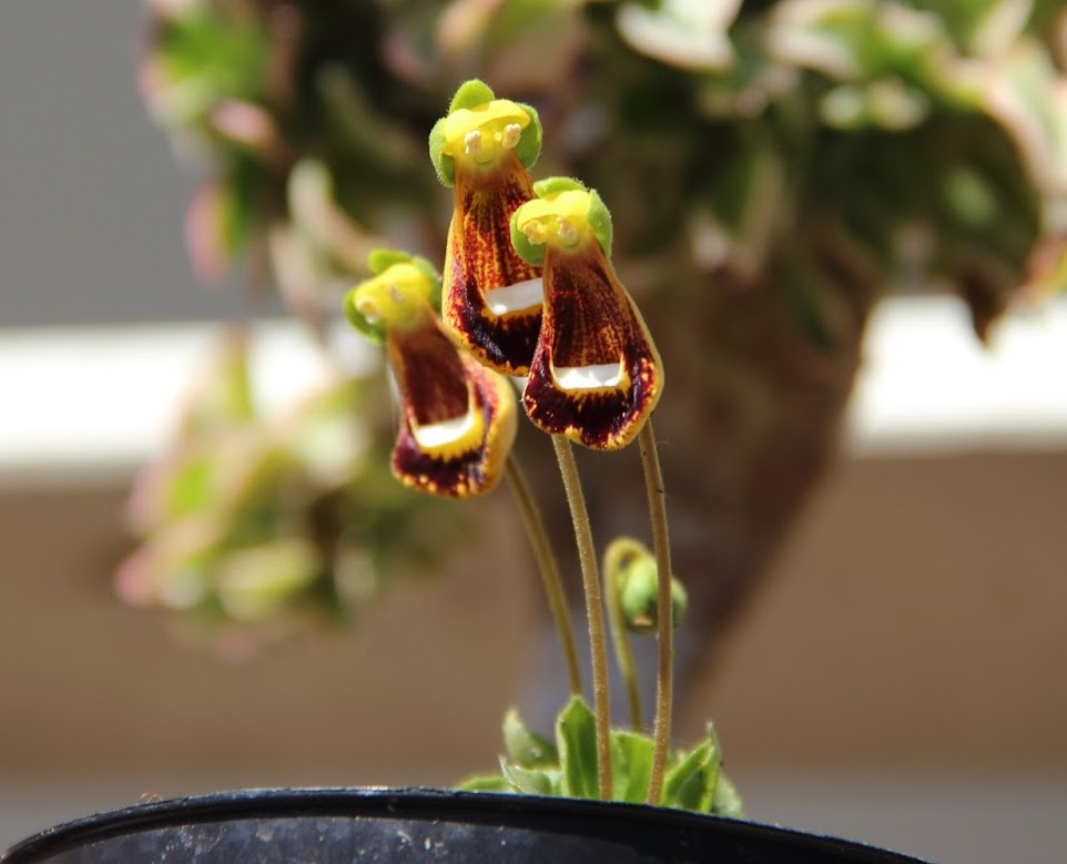 Calceolaria Darwinii o Zapatitos de Darwin