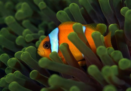 Un pez payaso puede transformarse de macho a hembra en ausencia de una hembra adulta. / Till Rothig (KAUST)