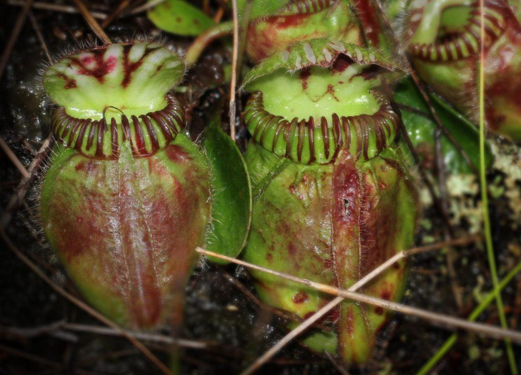 Cephalotus follicularis, planta carnívora australiana- Mitsuyasu Hasebe