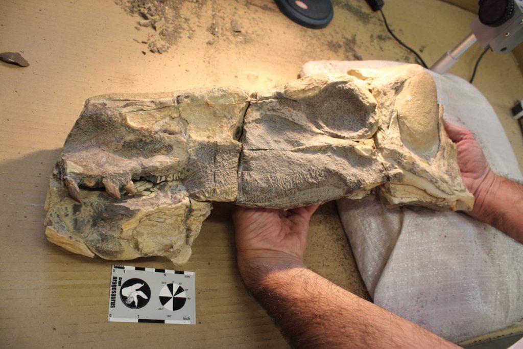Cráneo del dinosaurio come semilas- J. I. Canudo
