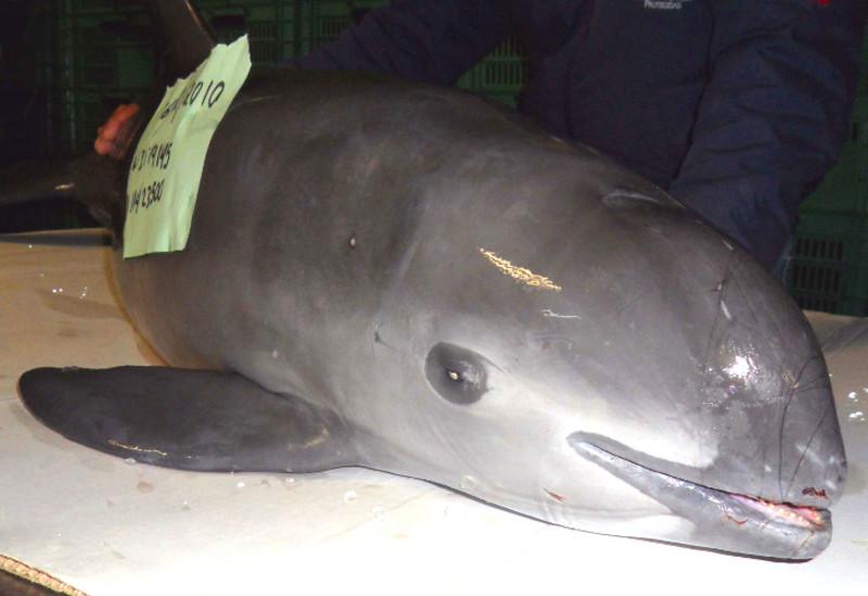 Solo quedan 30 ejemplares de vaquita marina en el mundo