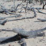 La chirinola, el cactus errante, en peligro de extinción por el hombre