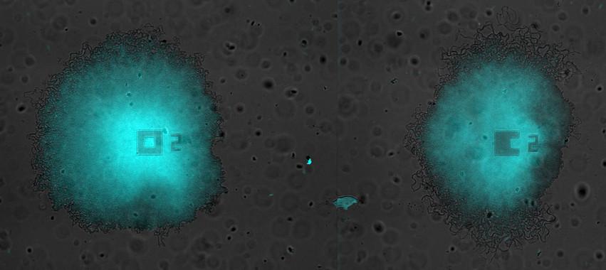 Bacterias en crecimiento- Universidad Pompeu Fabra, Universidad de California