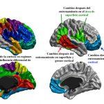 El cerebro sí cambia con el entrenamiento cognitivo
