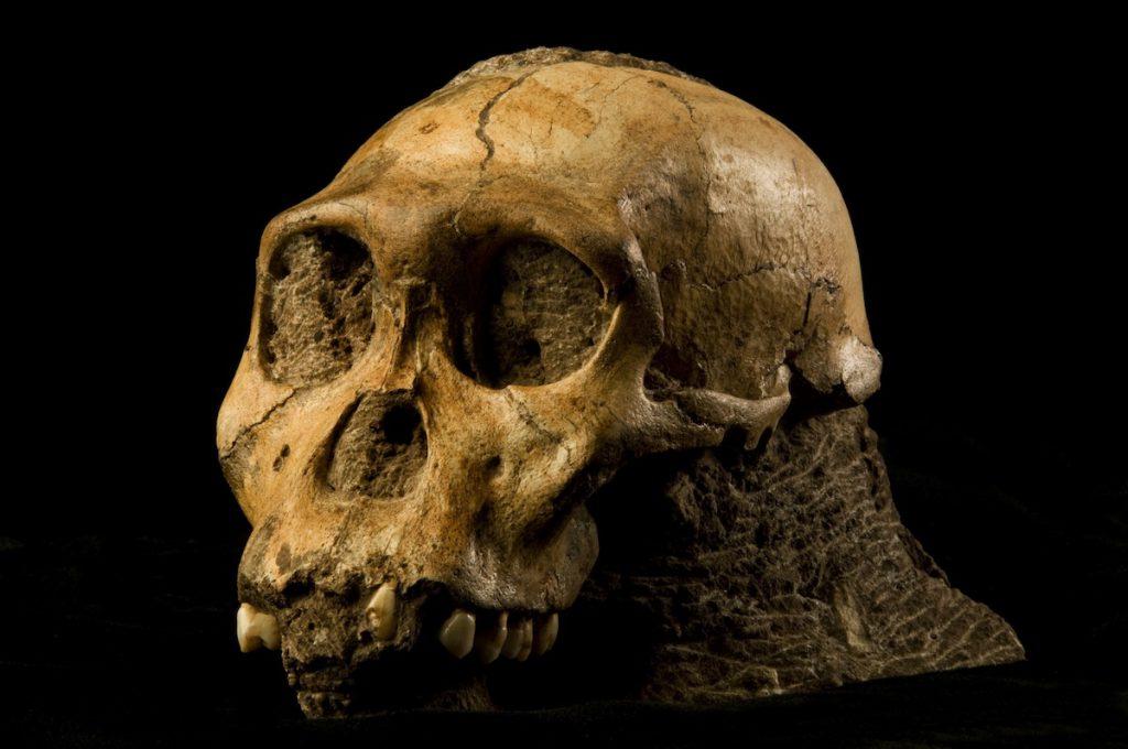 Cráneo del homínido Australopithecus sediba- Brett Eloff