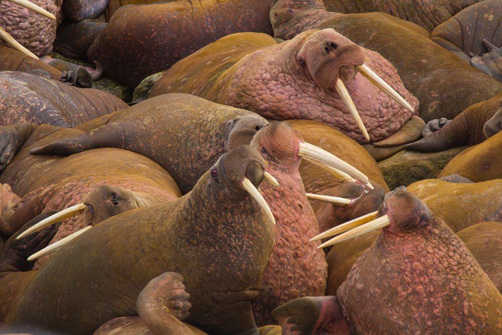Morsas del Pacífico (Odobenus rosmarus divergens) / Beringia National Park