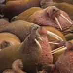 Siete áreas marinas en el Ártico necesitan ser Patrimonio Mundial