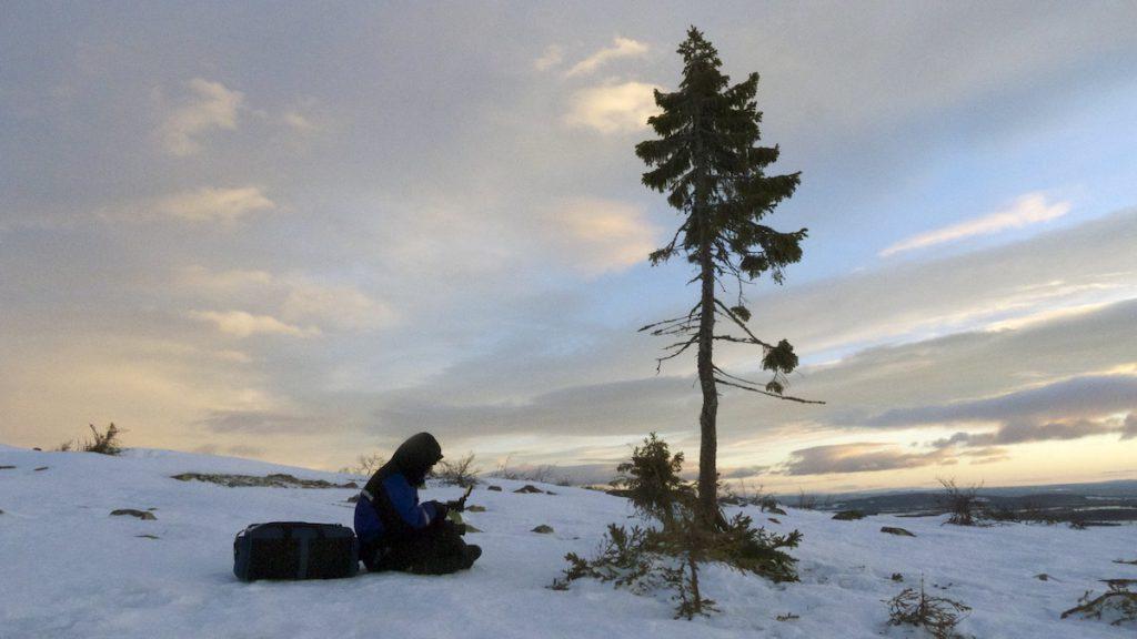 Old Tjikko, el árbol clonado más viejo de la tierra