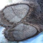 Los osos se comunican a través del olor de sus pies
