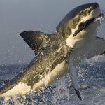 Detectan nueva área de crianza del tiburón blanco