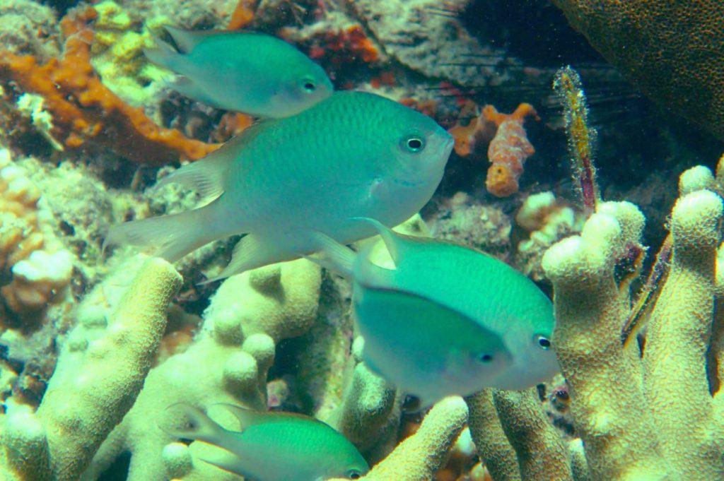 Altrichthys alelia, nueva especie de pez damisela descubierta en Filipinas que cuida a sus crías hasta que pueden valerse por si mismas- Giacomo Bernardi