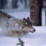 ¿Cómo una manada de lobos pudo cambiar el curso de los ríos?