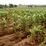 Para México no es necesario el maíz genéticamente modificado