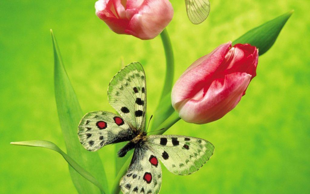 Mariposa y tulipanes