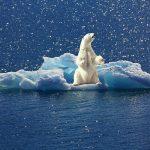 Los osos polares hoy están menos contaminados de mercurio