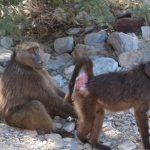Los babuinos intimidan sexualmente a las hembras para controlarlas