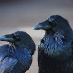 Los cuervos son capaces de planificar sus acciones (VIDEO)