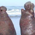 Los elefantes marinos se reconocen entre ellos por el ritmo de sus voces
