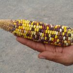 La maravillosa mutación del maíz mexicano: Obtener dos o más plantas de una semilla