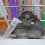 Altas dosis de cafeína ayudan a los ratones a perder peso