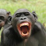 El efecto 'Brad Pitt' de los machos bonobo