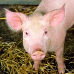 Eliminan retrovirus en cerdos vivos utilizando la edición genética con CRISPR