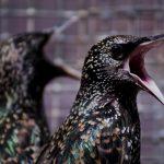 Dos especies de ave que se quitan la contaminación