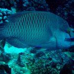 El ruido de los barcos altera la conducta de los peces limpiadores de arrecifes