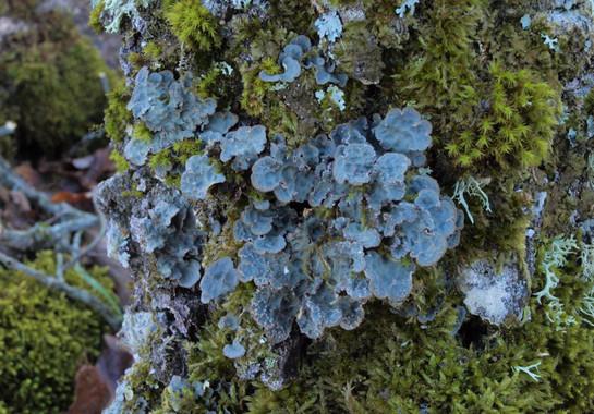 Liquen Lobarina scrobiculata que vive en los árboles- Sonia Merinero