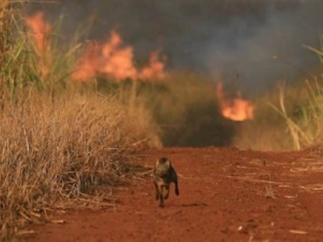 Lobo huyendo del incendio