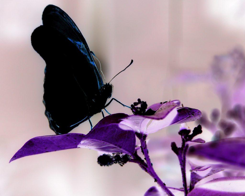 Las mariposas negras indican a los científicos como mejorar las celdas solares