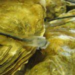 Las ostras se cierran para no recibir el ruido submarino