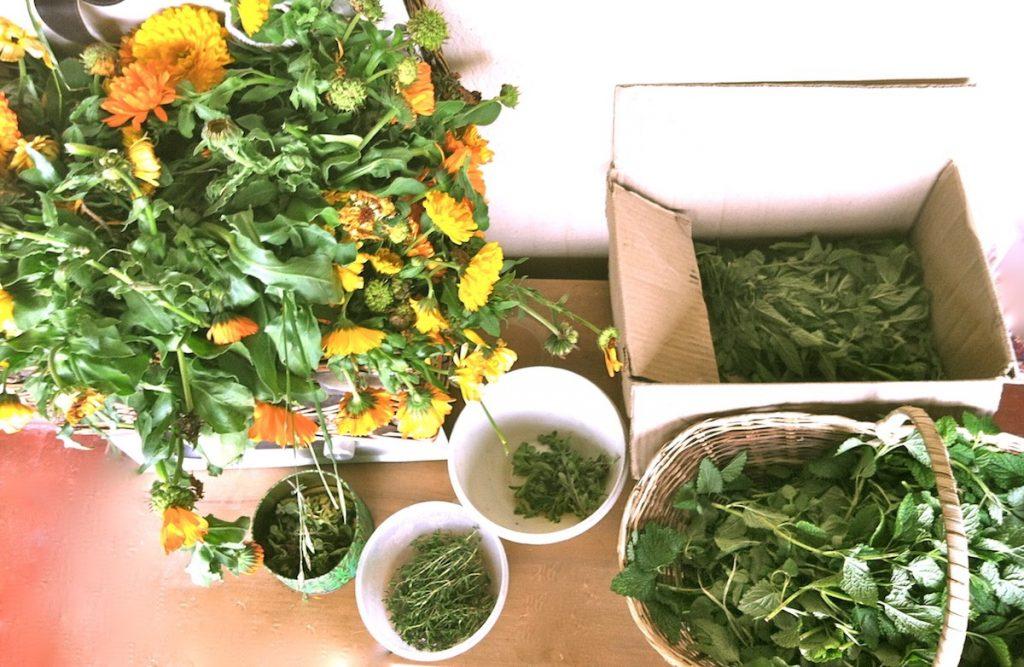 La OMS se interesa por plantas medicinales