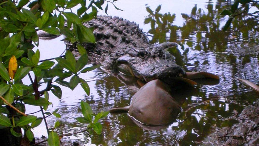 Un aligátor captura un tiburón nodriza en el Darling National Wildlife Refuge en Florida- U.S. Fish and Wildlife Service J.N.