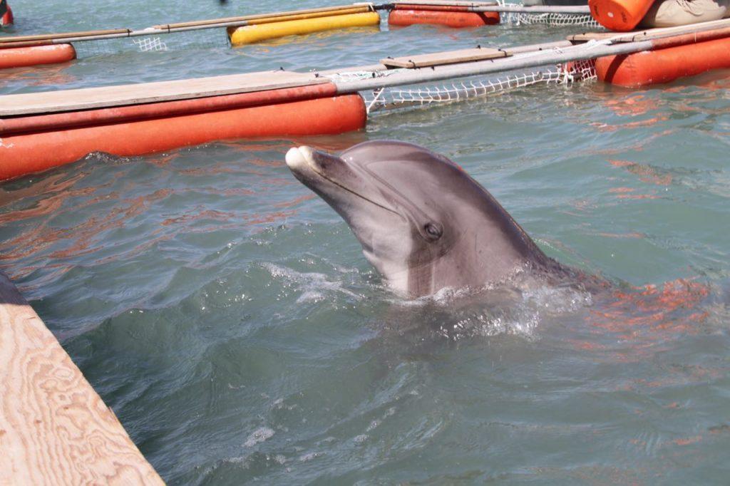 Cuatro delfines para rescatar a la vaquita marina