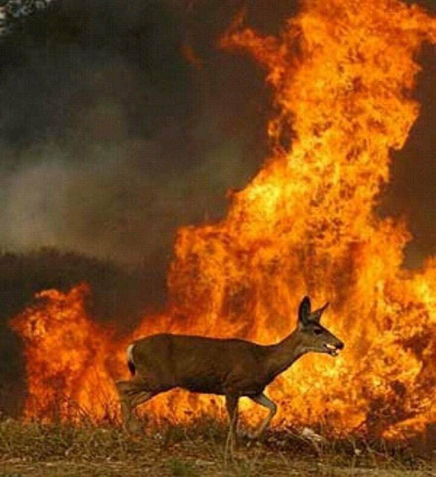 Venado corriendo en el incendio de Galicia- Jesús Calleja
