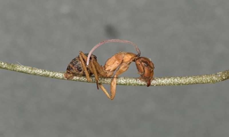 Hormiga muerta por el hongo que las convierte en zombi. Una vez muerta, sale un tallo del hongo de su cabeza- Brianna Santamaria