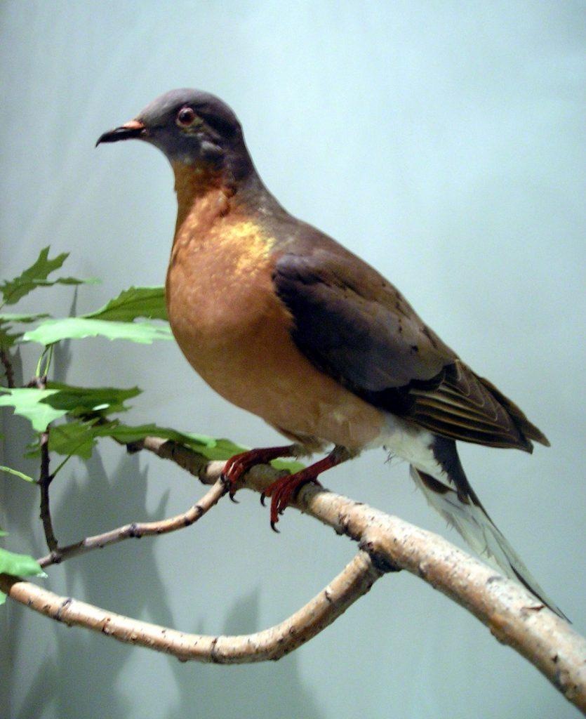 La paloma migratoria pasó de ser el ave más abundante en Norteamérica a extinguirse, en un siglo