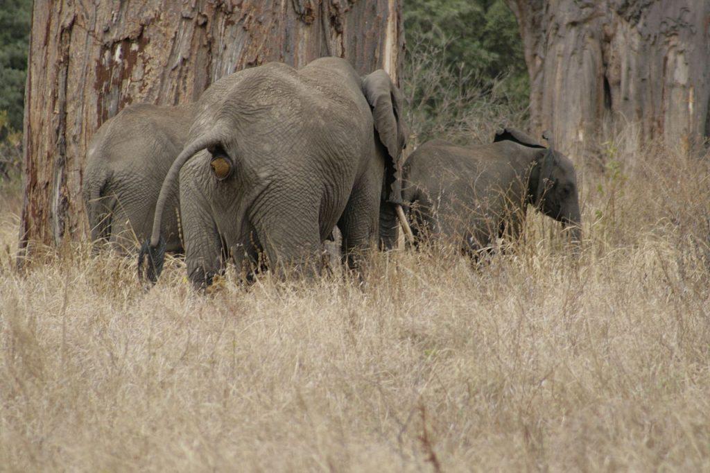 Elefante en defecación