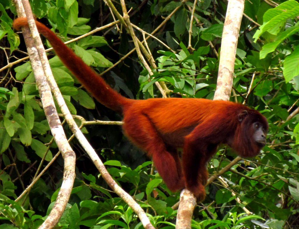 Mono aullador, Alouatta seniculus