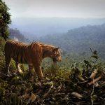 El Tigre de Sumatra acorralado, por la destrucción de sus bosques
