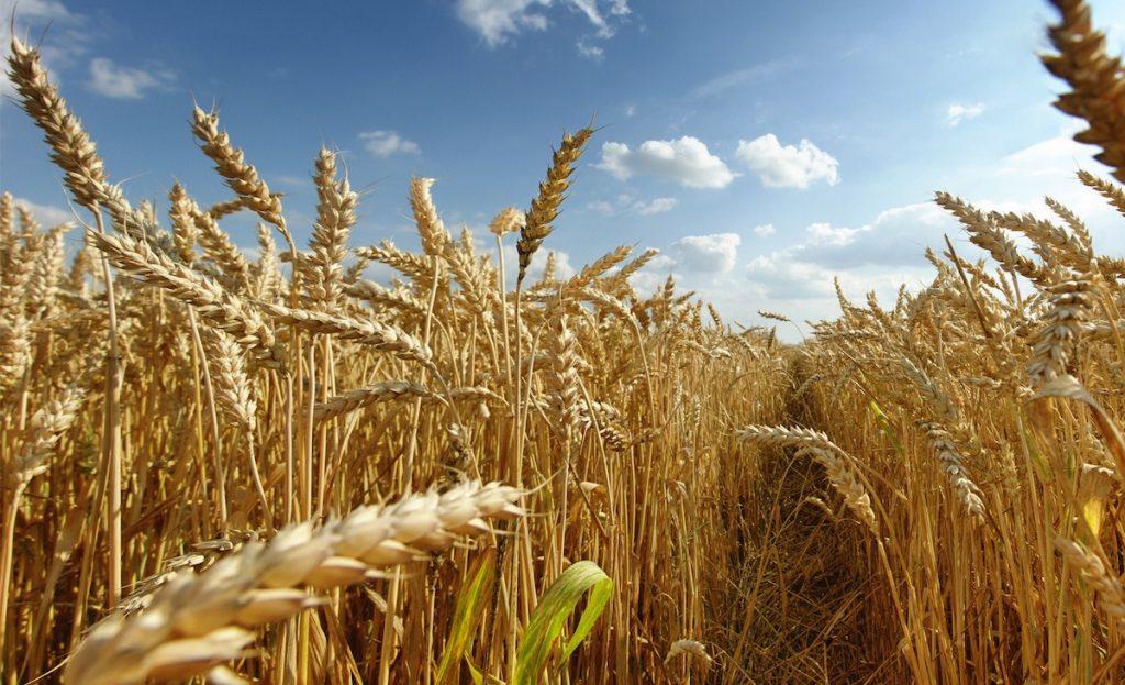 Un nuevo trigo sin gluten y que no produce la enfermedad celíaca