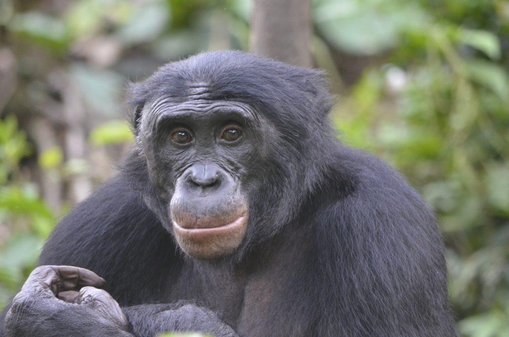 Fizi, un bonobo macho adulto en Lola ya Bonobo, República Democrática del Congo- Christopher Krupenye, Universidad de Duke
