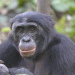 Los bonobos prefieren a un imbécil antes que a un buenazo