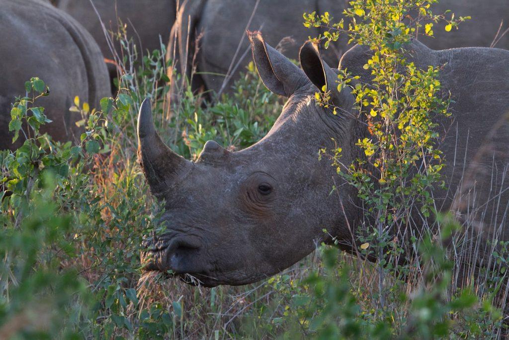 Rinocerontes en la Reserva Hluhluwe Game, Sudafrica- Joshua Daskin